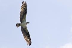Osprey en vol Image stock