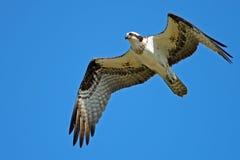 Osprey en vol Image libre de droits
