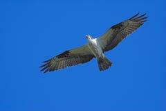 Osprey en vol Photos stock