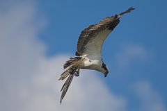 Osprey en vol image stock