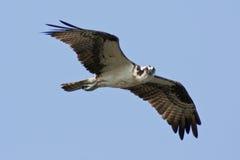 Osprey en vuelo Imagenes de archivo