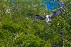 Osprey en vuelo Fotografía de archivo