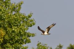 Osprey en vuelo al cazar imagen de archivo libre de regalías