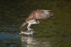 Osprey en vuelo con la captura X Foto de archivo