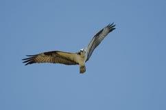 Osprey en vuelo, Savannah National Wildlife Refuge Imagenes de archivo