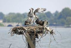 Osprey entrant pour un atterrissage Images libres de droits