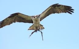 Osprey father building nest nest Royalty Free Stock Images