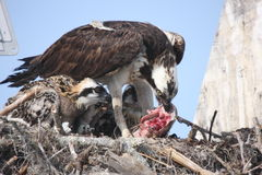 Osprey feeding Stock Photography