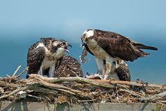 Osprey. Feeding Chick in nest Royalty Free Stock Photo