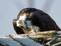 Osprey Feeding Chick Royalty Free Stock Photos