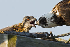 Osprey Feeding Chick Royalty Free Stock Image