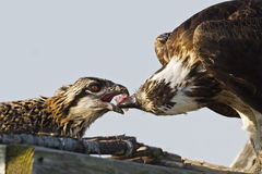 Osprey Feeding Chick Stock Photo