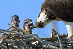 Osprey Feeding Chicks Stock Photography
