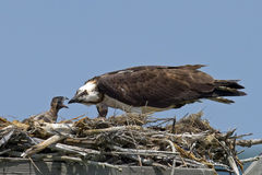Osprey Feeding Chicks Stock Images