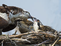Osprey Feeding Chicks Stock Photos