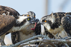Osprey Feeding Chicks Royalty Free Stock Images