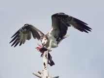 Osprey Feeding On Fish Royalty Free Stock Photos