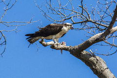 Osprey Feeding. An osprey feeding on a fresh caught fish Royalty Free Stock Images
