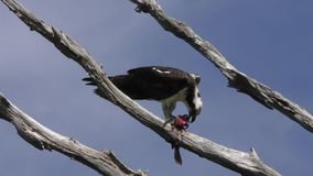 Osprey feeds on fish stock video footage