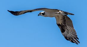 Osprey files through the air royalty free stock image