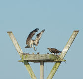 Osprey and fish royalty free stock image