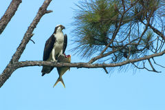Osprey with a fish. Stock Photo