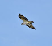 Osprey and Fish Stock Photo