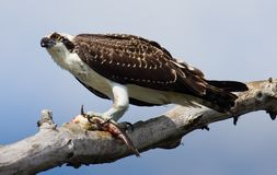 Osprey with fish. Royalty Free Stock Photos