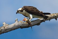 Osprey with fish. Royalty Free Stock Photography