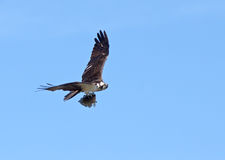Osprey with a Fish Stock Image