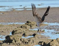 Osprey with fish. An osprey takes off with dinner in his claws Royalty Free Stock Images