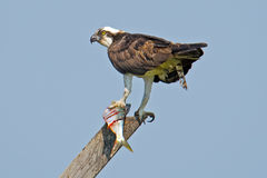 Osprey With Fish. Osprey Holding a Fish In talon with large gashes on fish Stock Photography