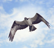 Osprey with Fish Royalty Free Stock Photo