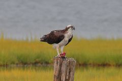 Osprey on the piing eating a fish stock images