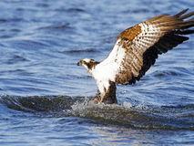 Osprey Fish Dive Royalty Free Stock Images