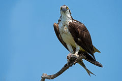 Osprey with Fish Royalty Free Stock Photos