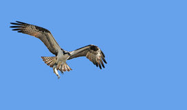 Osprey With Fish Stock Image