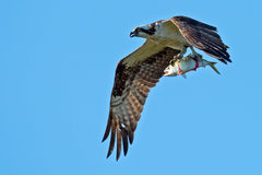 Osprey with Fish Stock Images