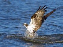 Osprey Fish Grab Royalty Free Stock Image