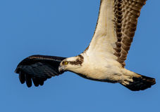 Osprey fish hawk Royalty Free Stock Image