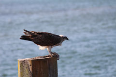 Osprey fish hawk with prey Stock Photo