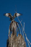 Osprey with fish. Osprey with his catch on top of a tree. Taken in the everglades Stock Photography
