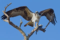 Osprey with Fish (Pandion haliatus) Royalty Free Stock Image