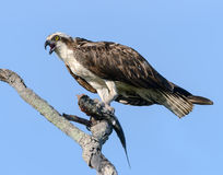 Osprey with Fish Perched in Tree Stock Image