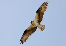 Osprey and fish tail Stock Image