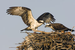 Osprey with a fish to share. An Osprey brings a fish back to his mate while she waits in the nest Stock Images