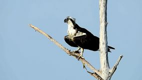 Osprey  With Fish stock video