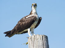 Osprey with Fish Royalty Free Stock Photography
