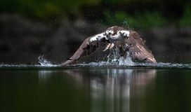 Osprey Fishing in Maine stock images