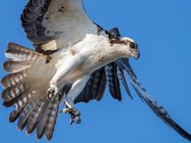 Osprey in Maine Royalty Free Stock Images